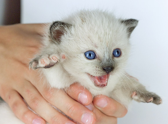 Британский котенок картинки
