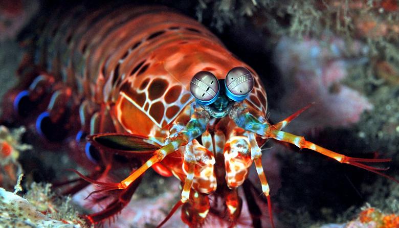 mantis_shrimp_1600_large.jpg