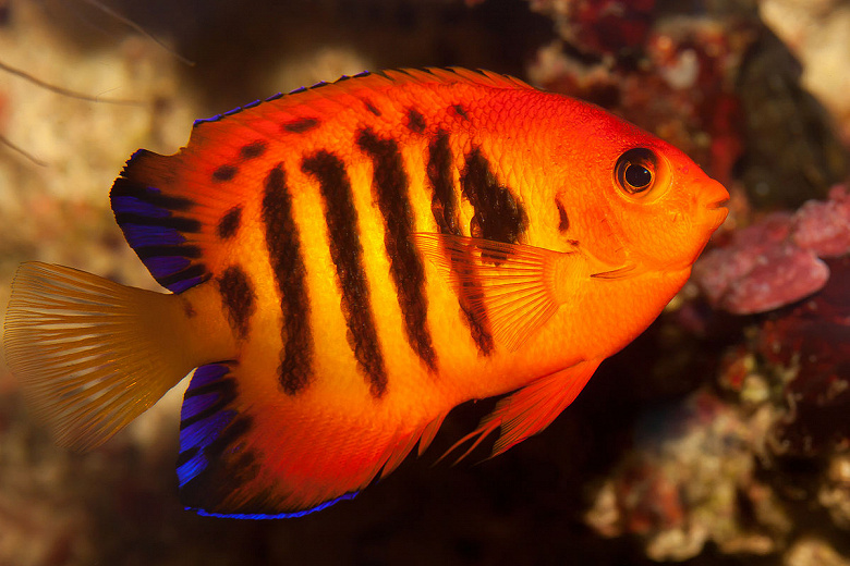 1200px-Flame_angelfish_(Centropyge_loric