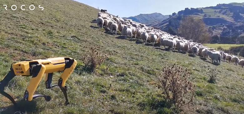 Робот Boston Dynamics Spot пасёт овец, проверяет урожай и валяется в траве в новом видео