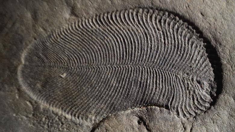 На берегу Белого моря нашли окаменелость самого древнего из известных животных